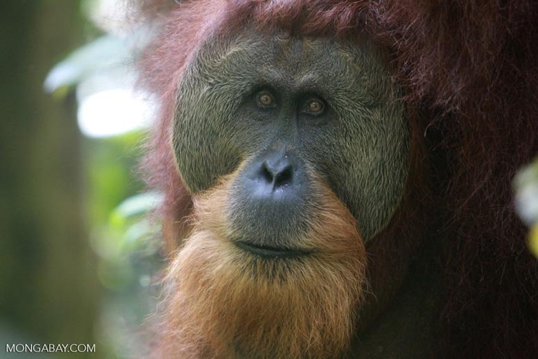 Orangutan with Large Face Plate [sumatra_0364]