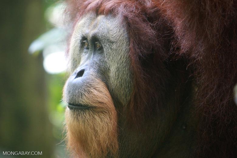 Orangutan with Large Face Plate [sumatra_0367]