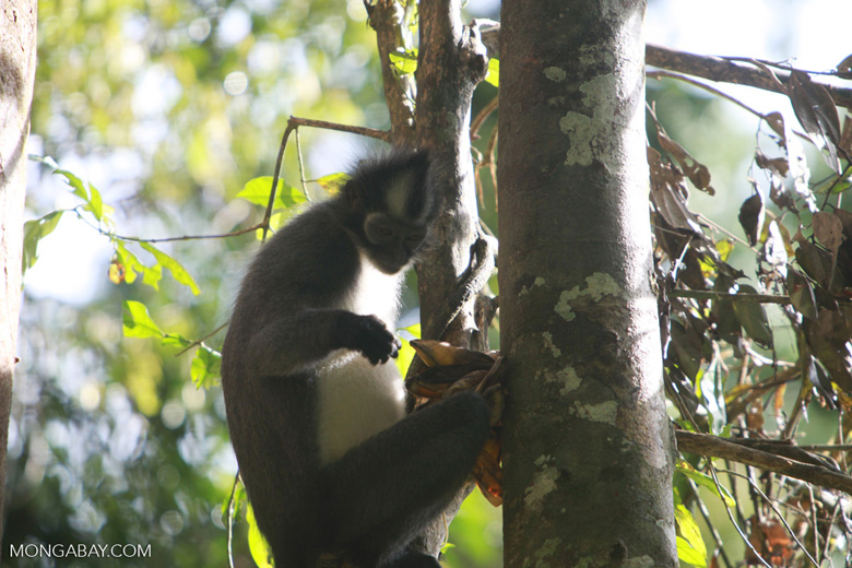 Thomas leaf monkey eating figs [sumatra_0381]