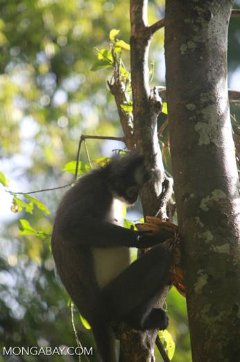 Thomas leaf monkeys [sumatra_0388]