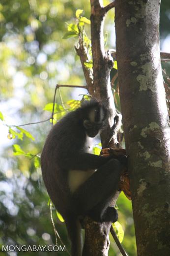 Thomas leaf monkeys [sumatra_0389]