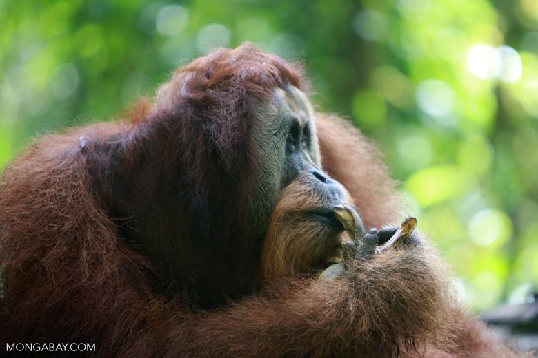 Orangutan eating bananas [sumatra_0400]