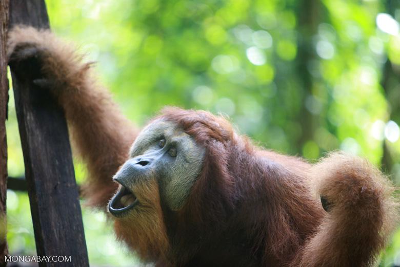 Large Orangutan with Open Mouth
