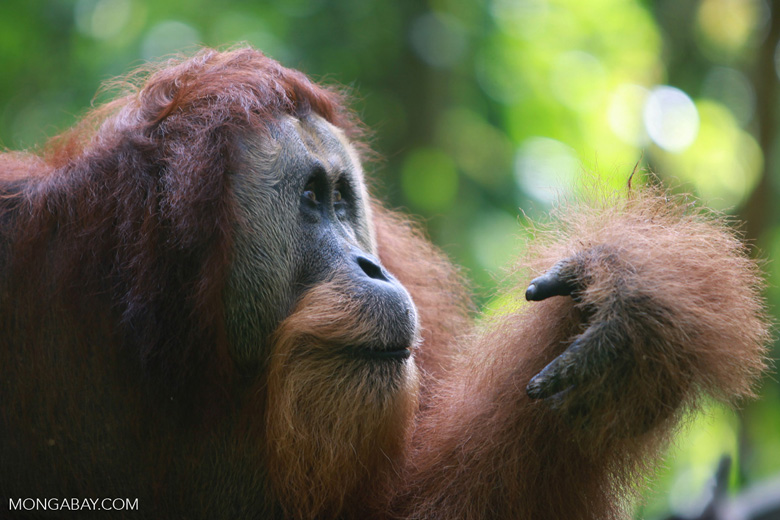 Large Male Orangutan looking at his hand