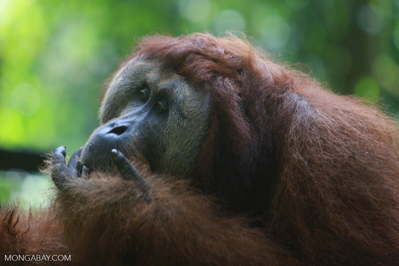 Orangutan with a hand in his mouth