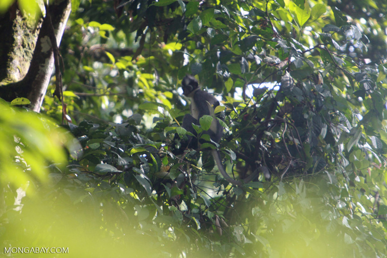 Thomas leaf monkeys [sumatra_0437]