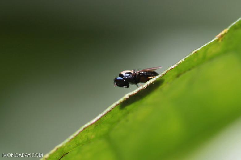 Blue-eyed fly