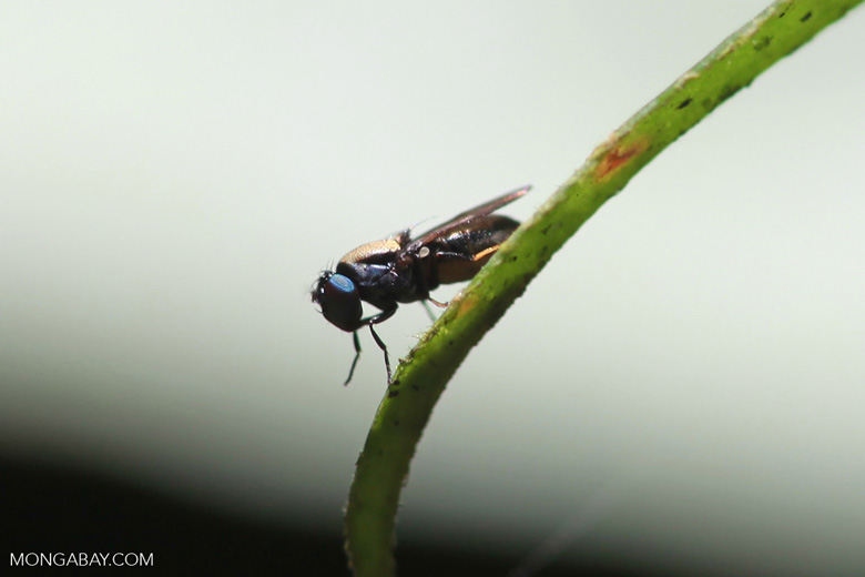 Blue-eyed fly [sumatra_0452]