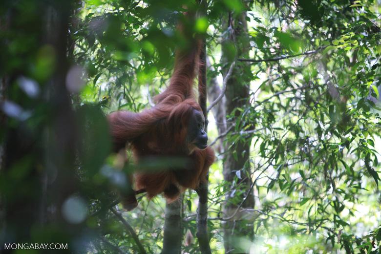 Orangutan in Tree [sumatra_0482]