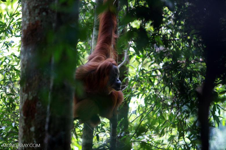 Orangutan in Tree [sumatra_0485]