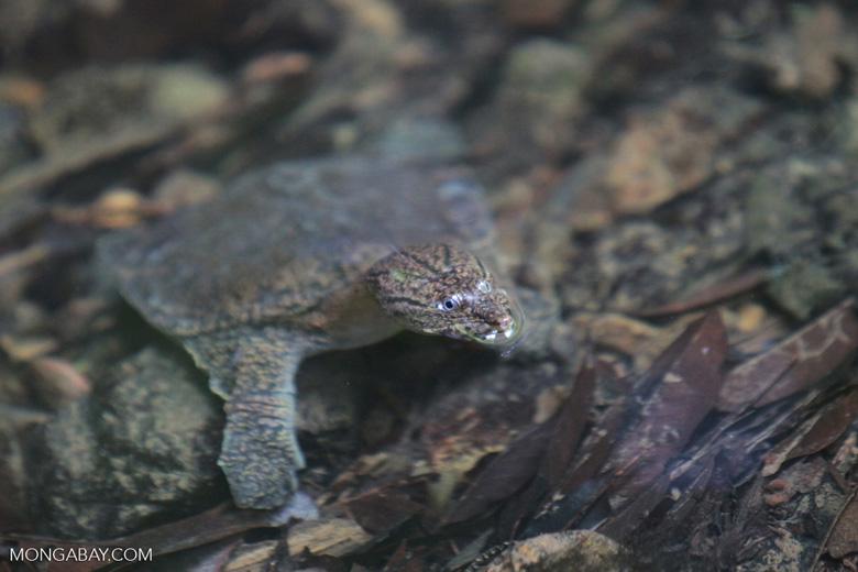 Sumatran freshwater turtle [sumatra_0511]