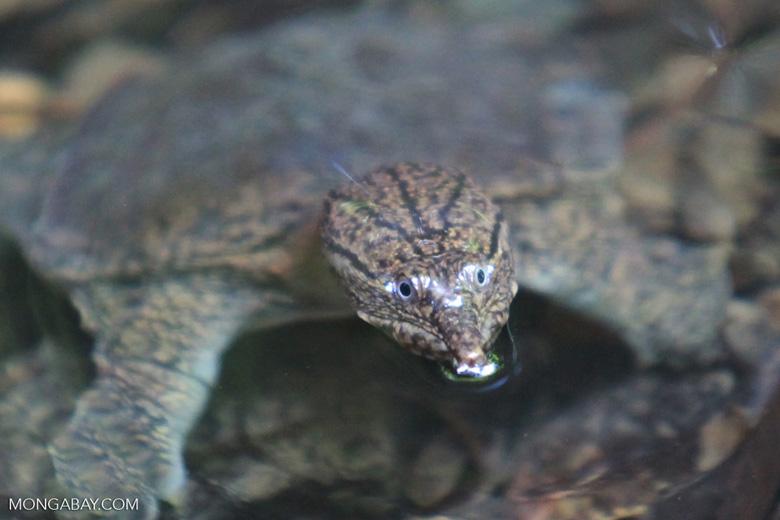 Sumatran freshwater turtle [sumatra_0512]