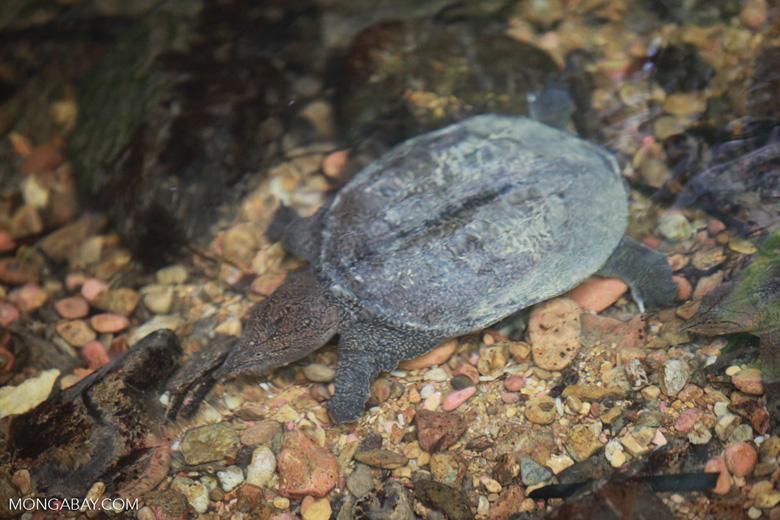 Wild freshwater turtle in Sumatra [sumatra_0518]