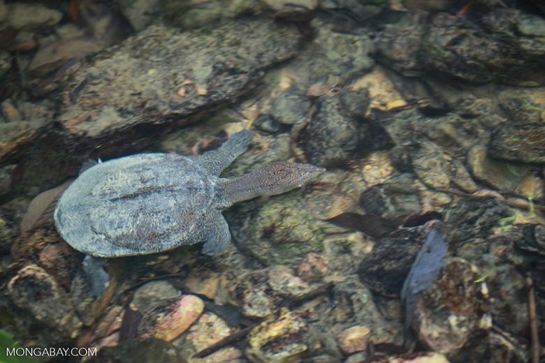 Wild freshwater turtle in Sumatra [sumatra_0526]