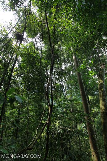 Rainforest liana