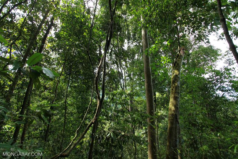 Liana in Gunung Leuser national park