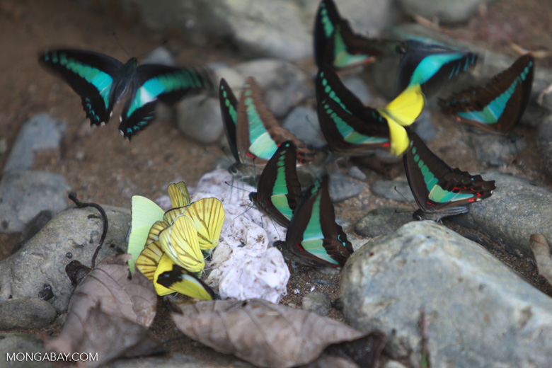 Common bluebottle butterflies (Graphium sarpedon) feeding on minerals
