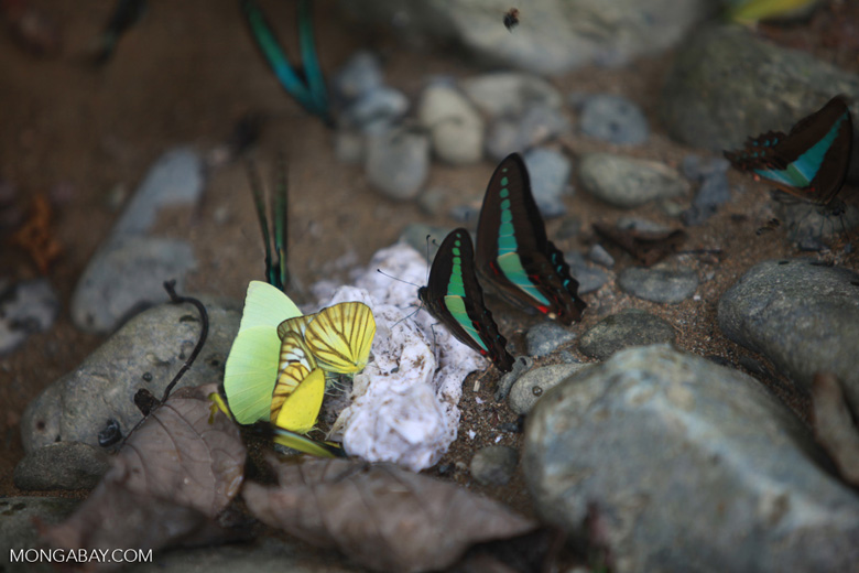 Common bluebottle butterflies (Graphium sarpedon) and other colorful butterflies feeding on minerals [sumatra_0560]