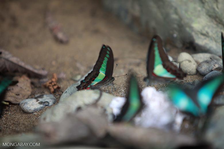 Common bluebottle butterflies (Graphium sarpedon) feeding on minerals [sumatra_0563]