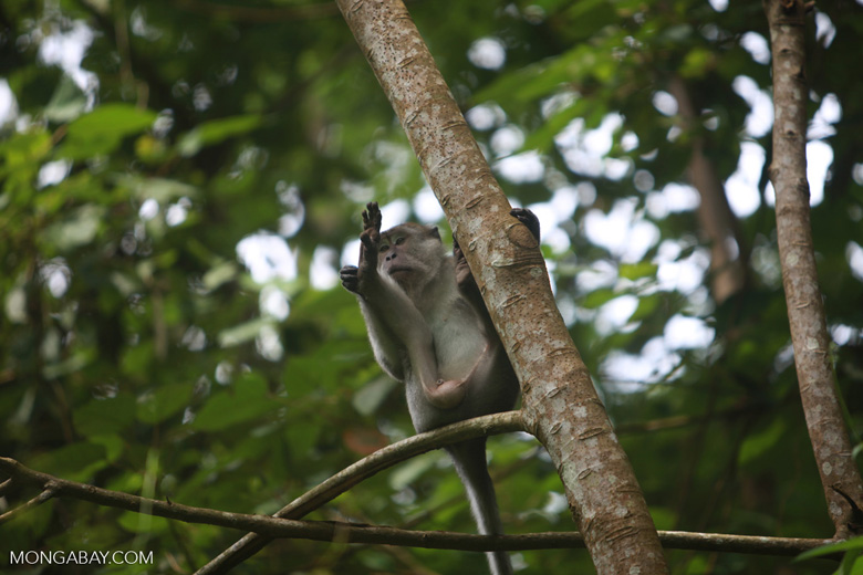 Long-tailed macaque grooming [sumatra_0588]