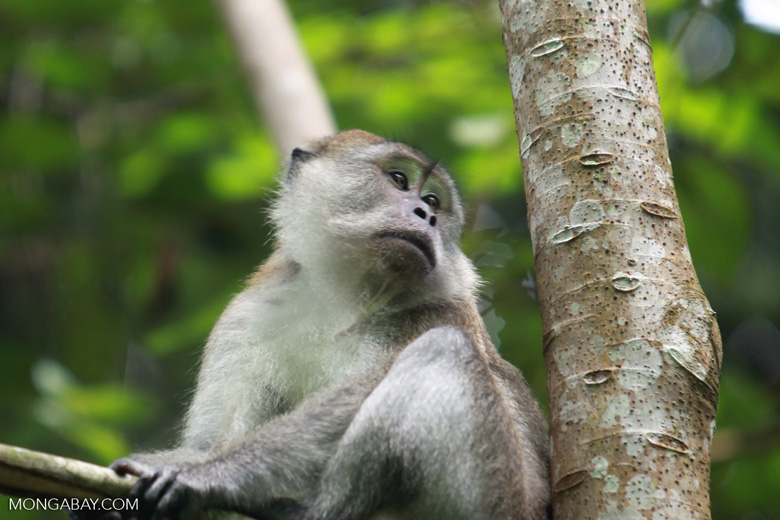 Male long-tailed macaque