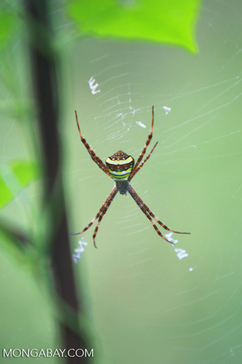 Orb spider with yellow, blue, white, brown, and black markings