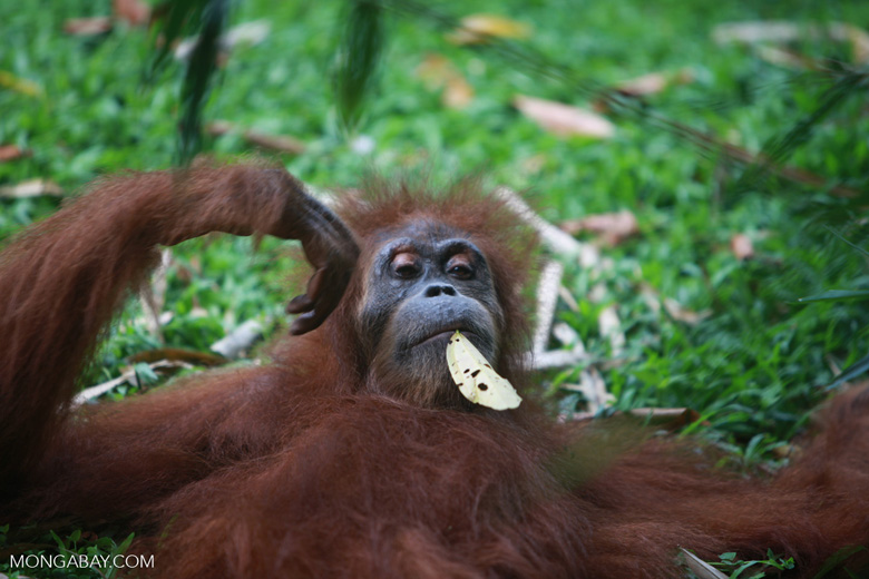 Orangutan with a leaf in its mouth