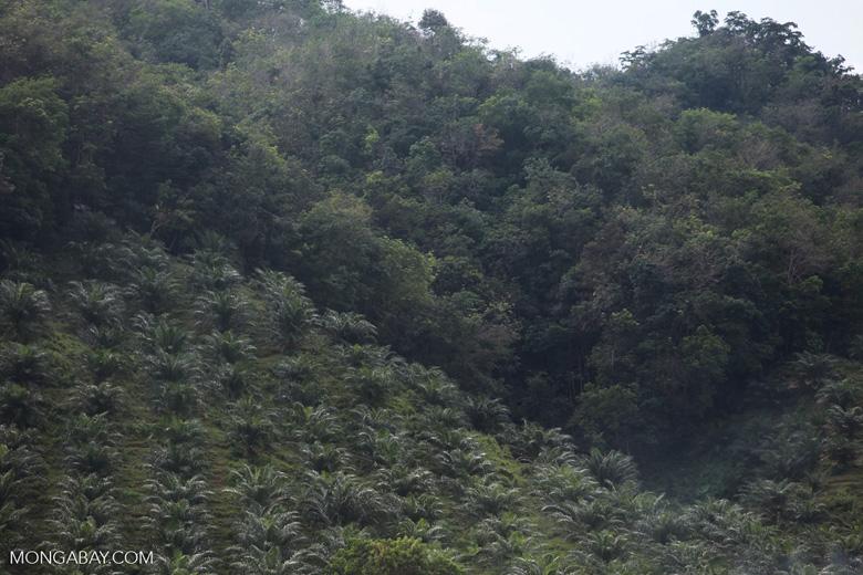 Oil palm and forest near Bukit Lawang [sumatra_0615]