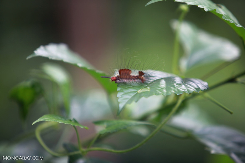Mohawk caterpillar [sumatra_0621]