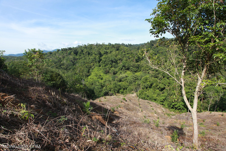 Deforestation for oil palm on the border of Gunung Leuser National Park