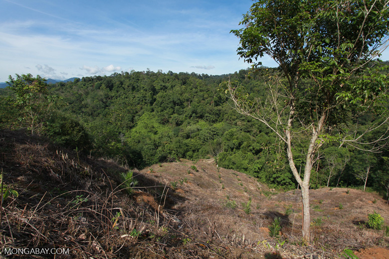 Small-holder rainforest clearing for oil palm