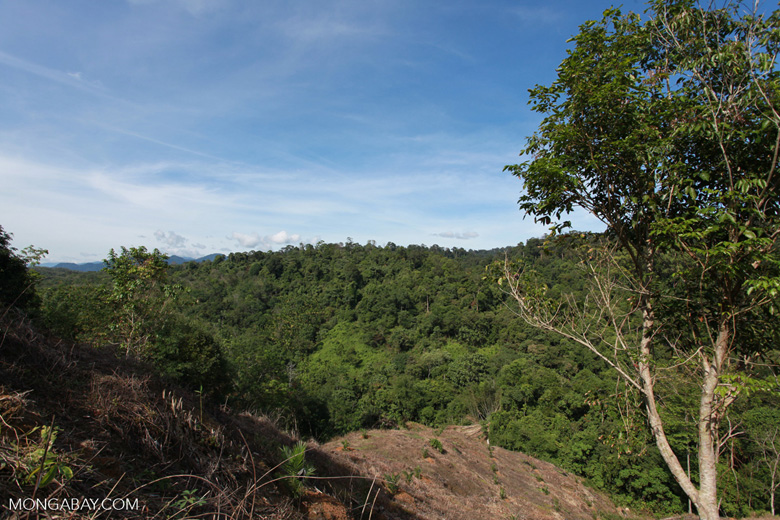 Patch of forest clearing for oil palm