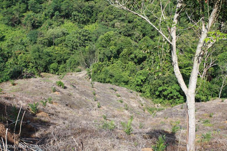 New oil palm development [sumatra_0669]