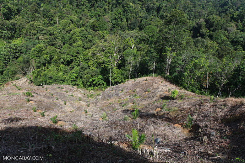 New oil palm development in forest next to Gunung Leuser National Park