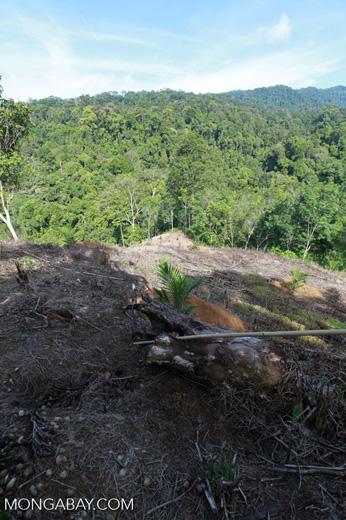 New oil palm development near the boundary of Gunung Leuser National Park [sumatra_0691]