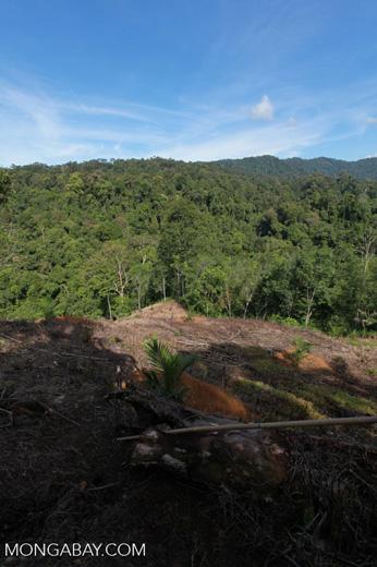 New oil palm development bordering Gunung Leuser National Park [sumatra_0692]