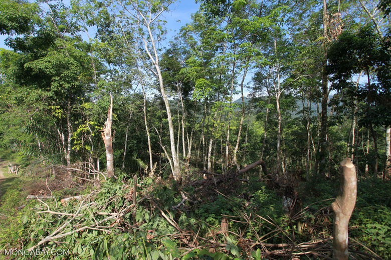 Clearing of undergrowth before tree felling In Sumatra