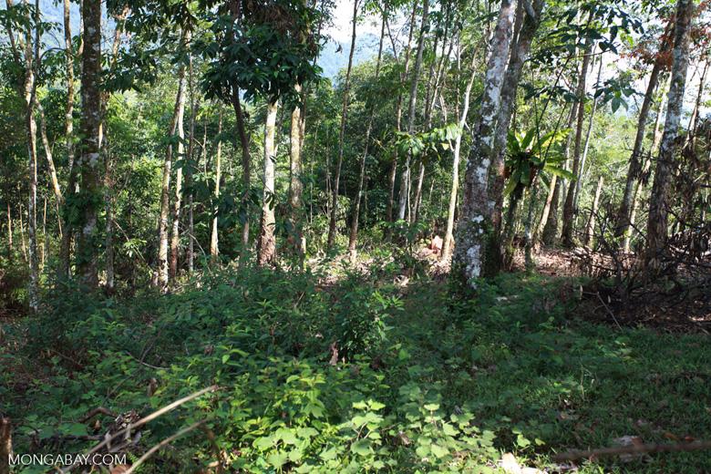 Small-holder rubber plantation [sumatra_0715]