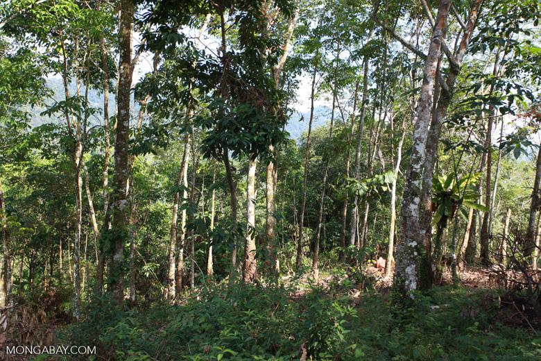 Small-holder rubber plantation [sumatra_0716]