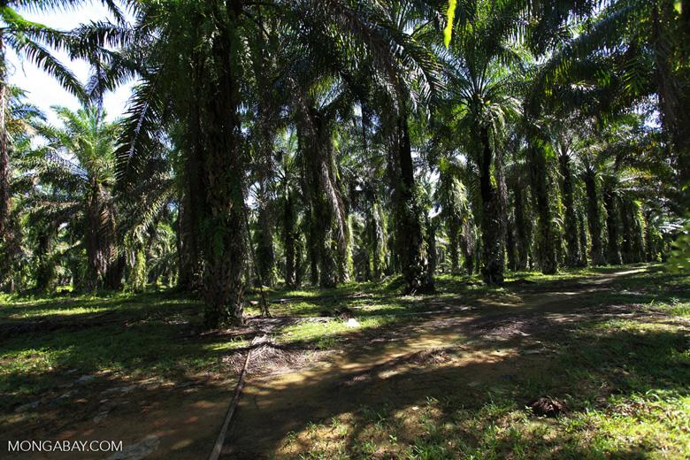 Oil palm estate [sumatra_0744]
