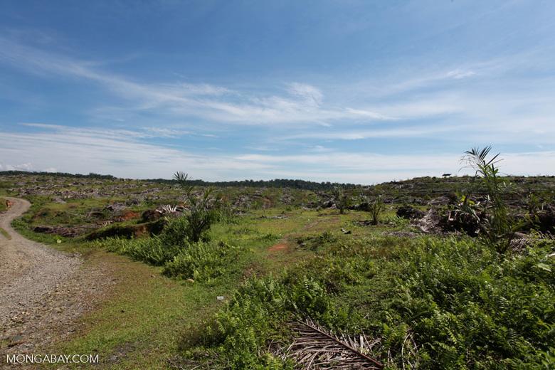 Re-establishing an oil palm plantation on the edge of Gunung Leuser National Park [sumatra_0749]