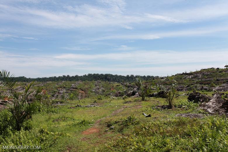 Re-establishing an oil palm plantation on the edge of Gunung Leuser National Park
