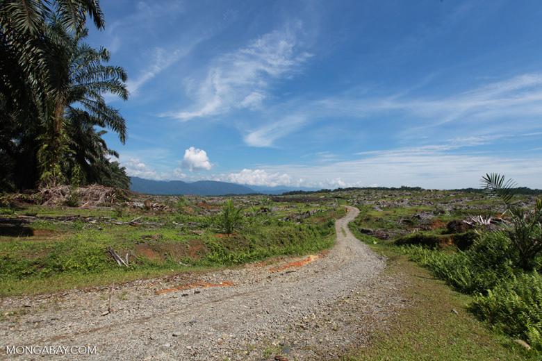 Replanting an oil palm plantation on the edge of Gunung Leuser National Park [sumatra_0753]