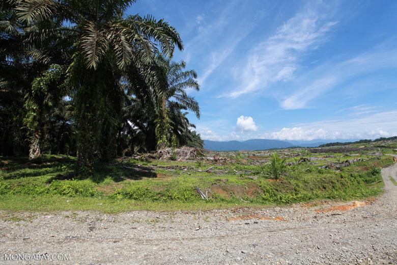 Oil palm plantation near Gunung Leuser National Park [sumatra_0755]