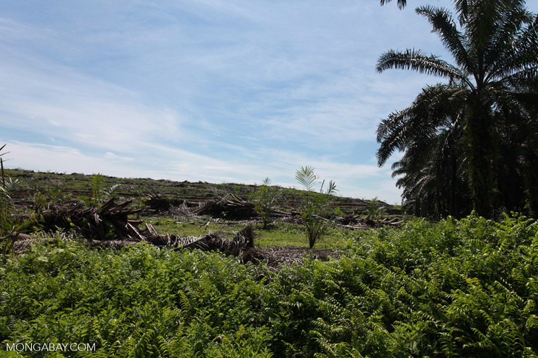 Establishment of a new oil palm plantation on an old estate