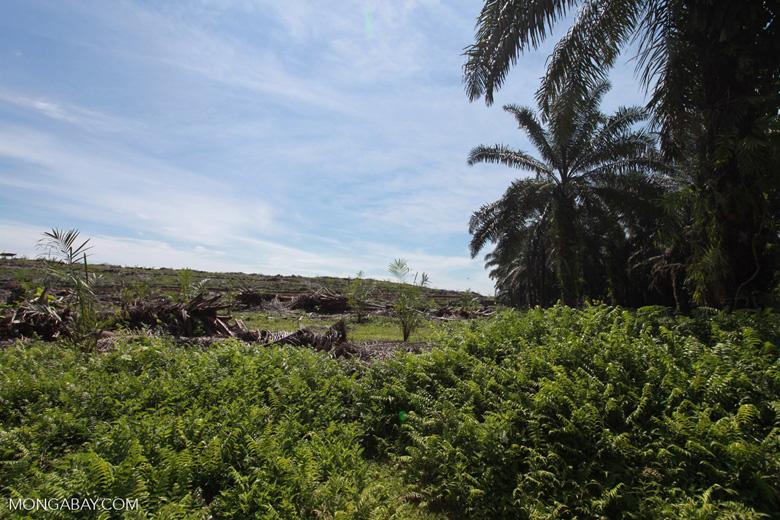 Establishment of a new oil palm plantation on an old estate [sumatra_0764]