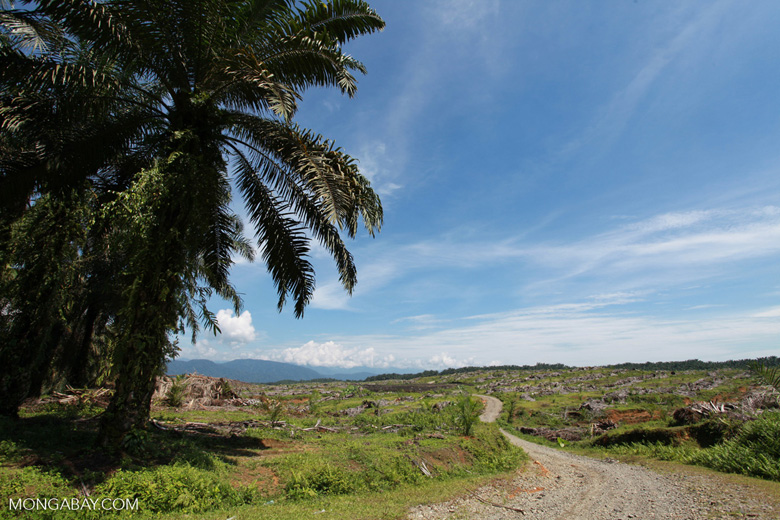 Oil palm trees cut in order to establish a new plantation for palm oil production