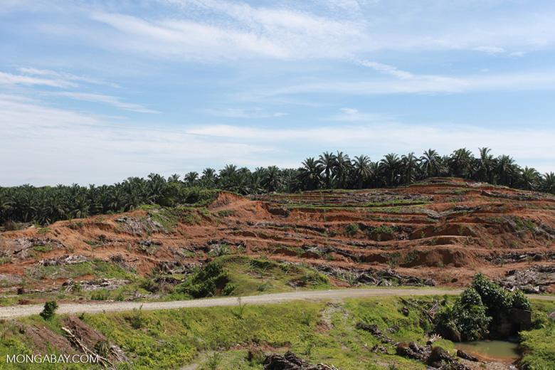 Palm oil: 'greening the Earth' [sumatra_0778]