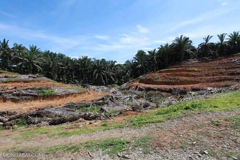 Oil palm plantation near Gunung Leuser National Park [sumatra_0803]