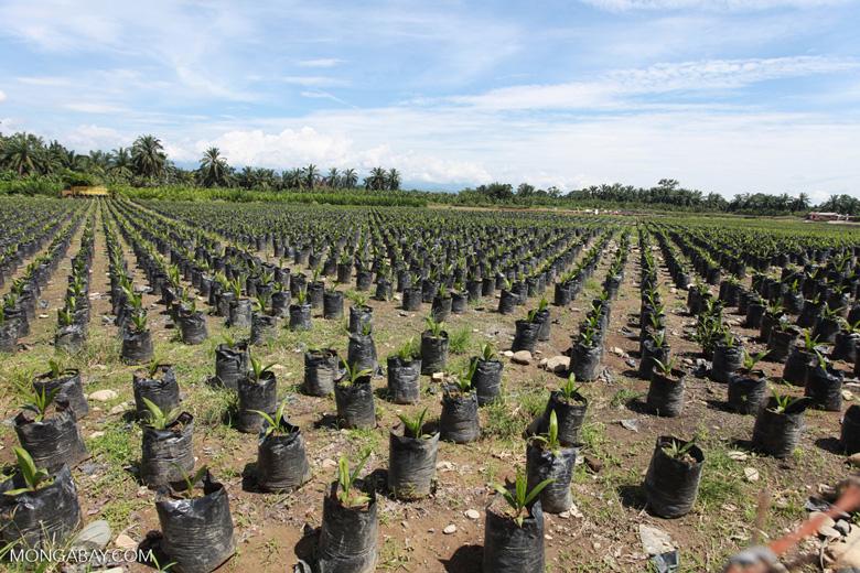 Fodder for a future oil palm plantation